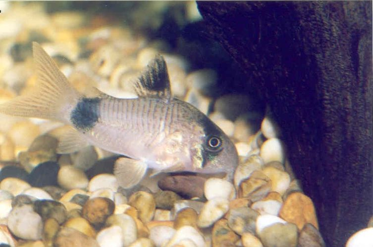 Poisson d eau douce les vari t s les plus courantes de for Poisson aquarium douce