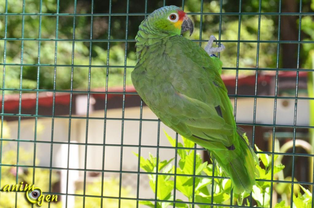 Les couleurs des perroquets, ou l'histoire d'une mystérieuse évolution