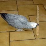 Les dangers de la maison pour le perroquet (1ère partie)