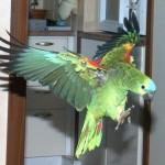 Les dangers de la maison pour le perroquet (2ème partie)