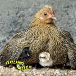 Les poules, ces nouveaux animaux de compagnie