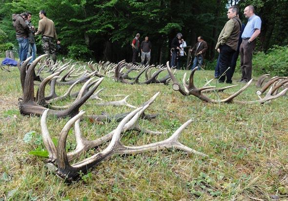 Exposition de mues de cerfs en forêt de Tronçais (03), samedi 01 er juin 2013