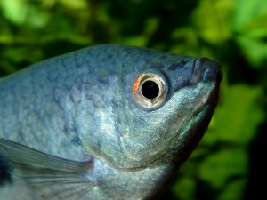 Poisson d'eau douce : le Gourami bleu (Trichogaster trichopterus)