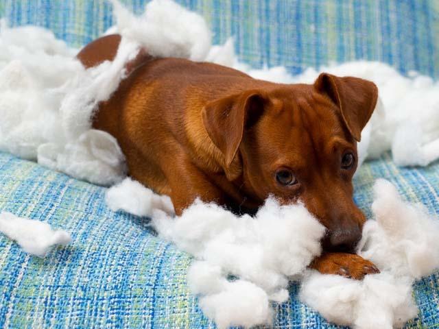 Comportement : l'hyper-attachement chez le chien (causes,symptômes,solutions)