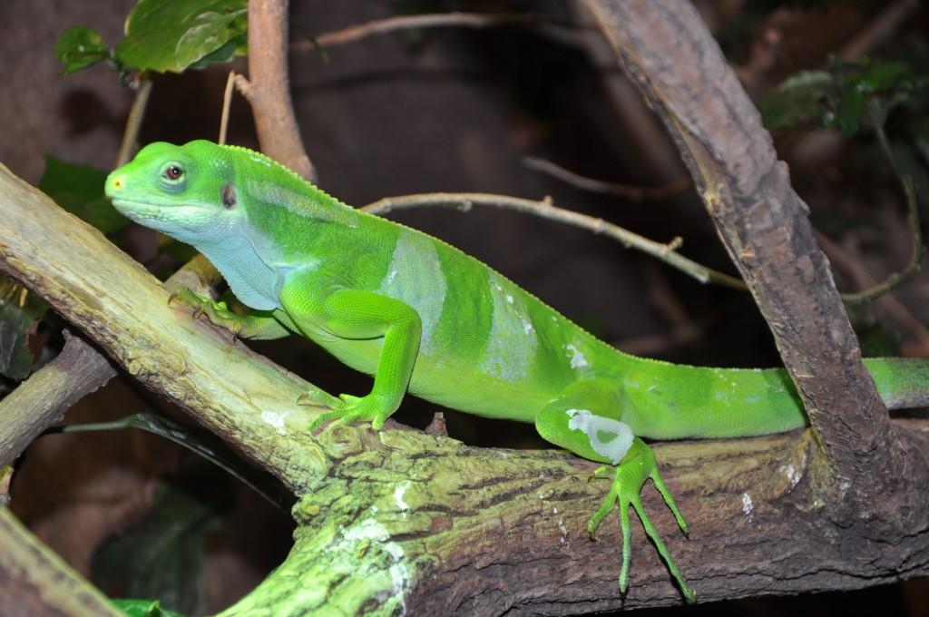 Iguane à bandes de Fidji, ou Brachylophus Fasciatus