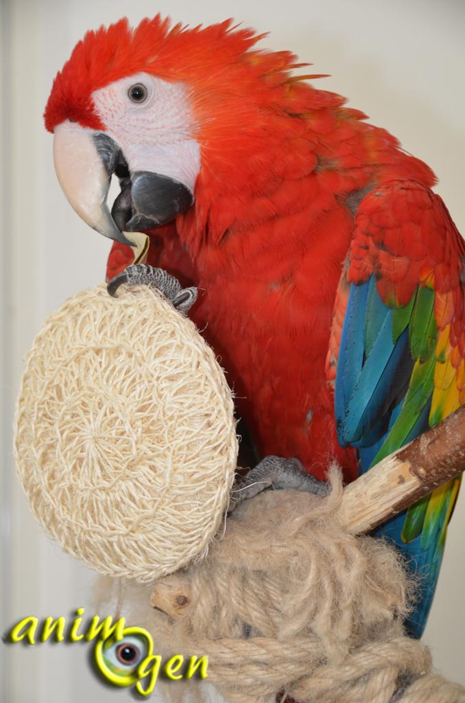 Jouet pour perroquet par détournement d'objet : gant pelote de sisal (Karawan)