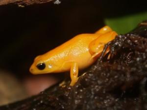 Amphibien : la Mantelle dorée, ou Mantella aurantiaca auriantaca