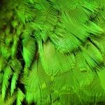 Le pigment vert chez les perroquets, illusion ou réalité ?