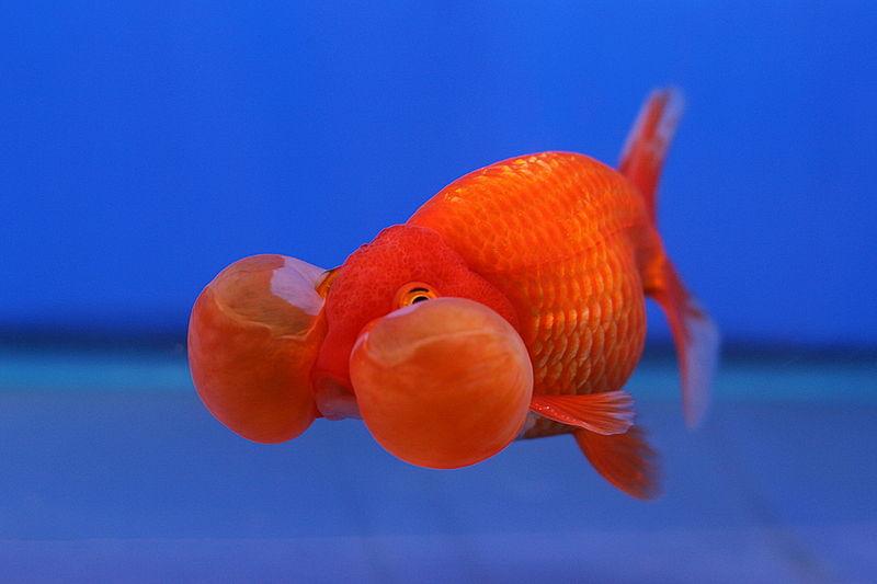 Auratus animogen for Aquarium poisson rouge changer l eau