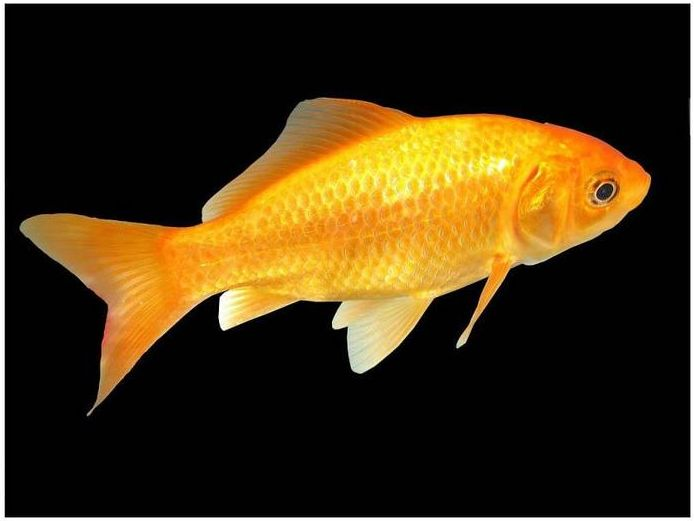Poisson d'eau douce : le carassin, dit poisson rouge, ou Carassius auratus auratus
