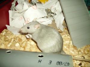 La grossesse chez le rat : la reconnaître et s'y préparer