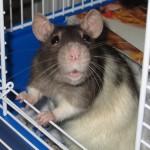 Les rats, animaux de compagnie aux multiples facettes