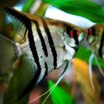 Le scalaire, ou Pterophyllum scalare, poisson ange de nos aquariums d'eau douce