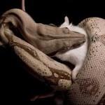 Alimentation des reptiles : préparer les aliments vivants ou morts d'un serpent