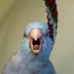 Comportement sexuel des perroquets de compagnie : rôle de la maturité sexuelle et place du maître
