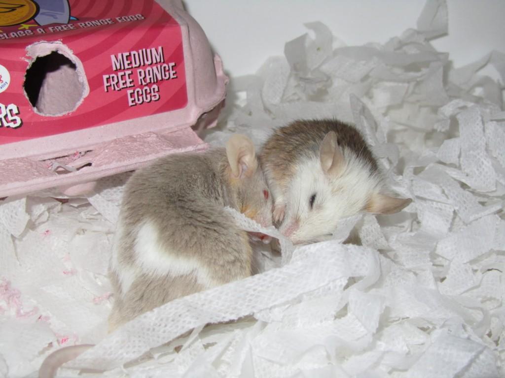 Comportement : les conflits entre souris mâles, causes et solutions