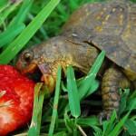 L'alimentation des tortues de terre