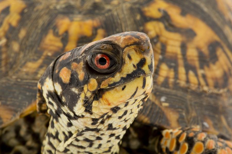 Reptiles : comment les tortues entendent-elles?