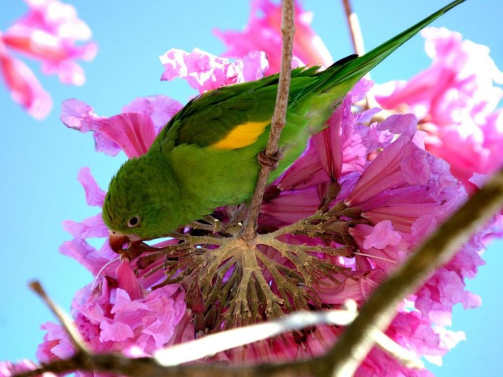 Les perroquets, pollinisateurs et jardiniers à l'état sauvage