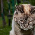 L'alimentation du vieux chat (changements, besoins, santé)