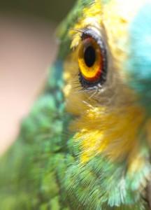 L'Amazone à front bleu, ou Amazona aestiva, un clown bavard dans un corps de perroquet