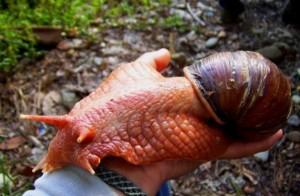 L'Archachatina marginata, un escargot terrestre géant de bonne compagnie