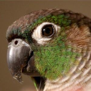 La Conure à joues vertes, ou Pyrrhura molinae molinae, petit perroquet au regard de séducteur