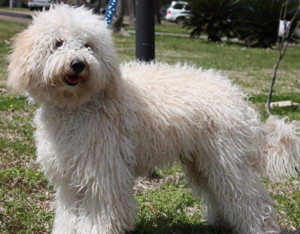 Le Labradoodle, un chien aux nombreux atouts