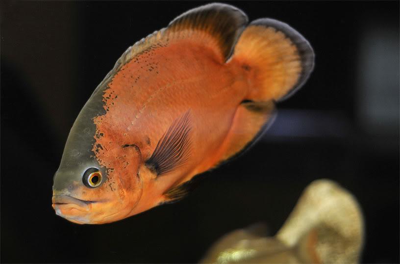 """L'Oscar, Astronotus ocellatus, un attachant """"poisson-chien"""" d'eau douce"""