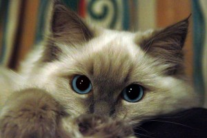 Le Ragdoll, un chat au tempérament de velours