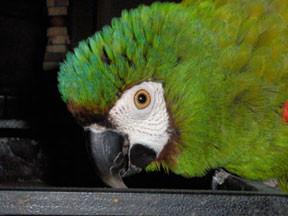 Comportement : l'agressivité liée au manque de socialisation chez le perroquet après le sevrage