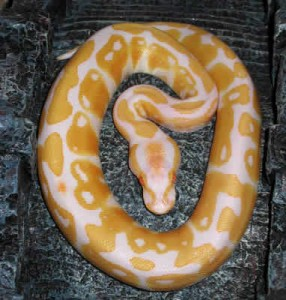 Alimentation des serpents : quel délai respecter entre la prise de nourriture et les manipulations ?