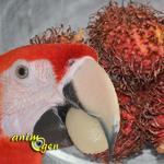 Alimentation : le ramboutan, ou litchi chevelu (Nephellium lappaceum L.), un fruit venu d'Asie pour nos perroquets