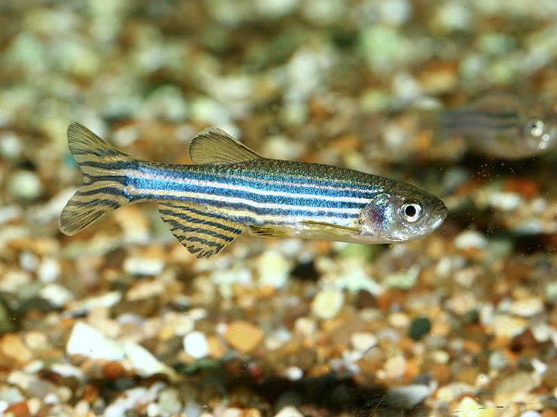 Danio rerio ou brachidanio rerio et danio frankei for Poisson aquarium douce