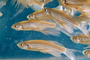 Danio rerio, ou brachidanio rerio, et danio frankei, poissons chouchous des aquariums d'eau douce