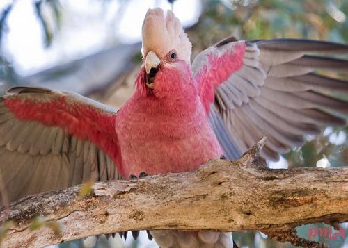 Comportement : l'alerte des sentinelles chez les perroquets