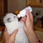 Alimentation : l'allaitement d'un chaton non sevré