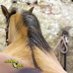La raie du mulet : le gène dun à l'origine d'une marque primitive chez le cheval