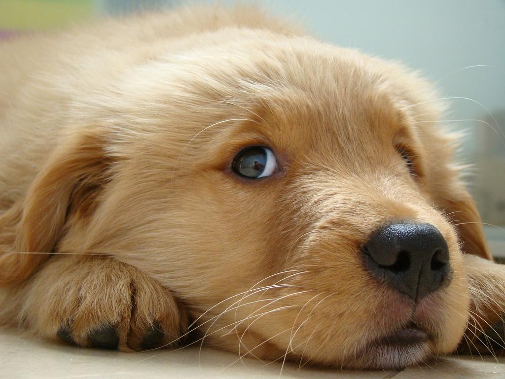 Les chiens ressentent-ils de la culpabilité après avoir fait une bêtise ?