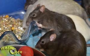 Le rat domestique, ou rattus norvegicus, un compagnon fascinant