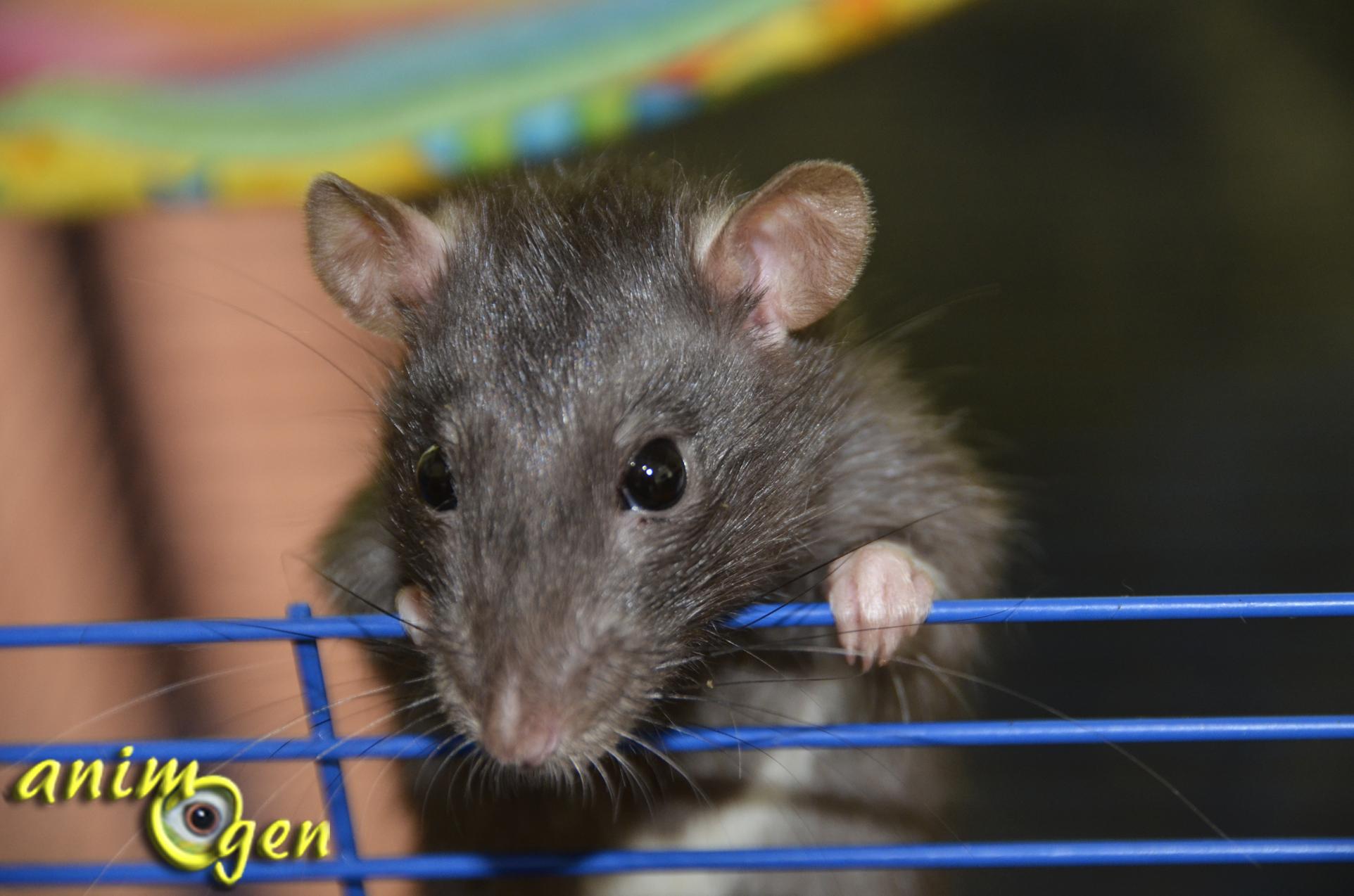 Le rat domestique ou rattus norvegicus un compagnon fascinant animogen - Odeur que les rats detestent ...