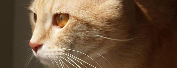 L'Européen à poil court, un chat fidèle à ses origines
