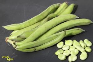 Alimentation perroquets : la fève, un féculent délicieux mais calorique