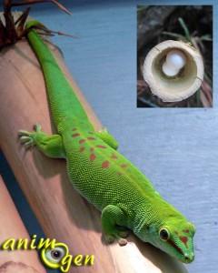 Les spécificités des geckos du genre Phelsuma : sexage et reproduction