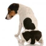 Santé : les glandes circumanales, ou anales, chez le chien (rôle, dysfonctionnement, traitement)
