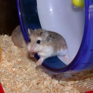 Le hamster (Mesocricetus auratus), un petit rongeur de compagnie très attachant