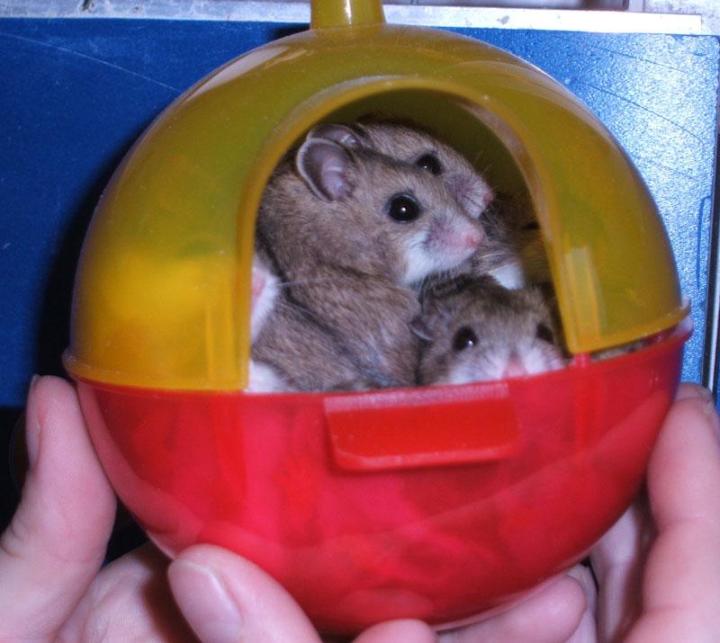 hamster-doré-mesocricetus-auratus-alimentation-maintien-reproduction-caractère-rongeur-variétés-nac-animal-animaux-compagnie-animogen-4