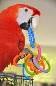 """Jouet pour perroquet par détournement d'objet : hochet Baby, """"Ring rattle"""" (Carrefour)"""