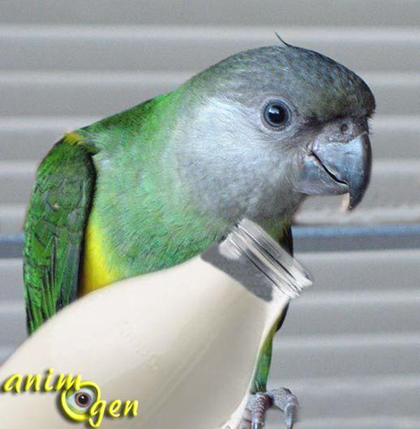 Alimentation : les perroquets peuvent-ils consommer des laitages ?