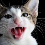 Comportement :  comprendre notre chat, ou  le lexique chat-humain à l'usage des maîtres attentifs